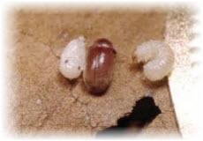 Жук точильщик Anobiidae