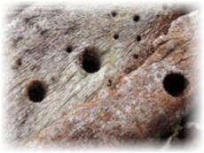 Следы повреждений дерева жуком короедом