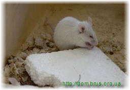 Мыши в бане грызут утеплитель . Фото