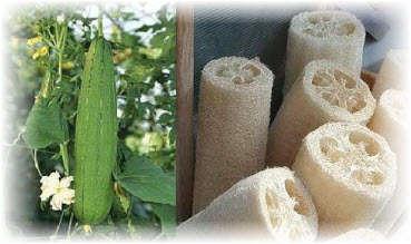 Люфа (тыква) для изготовления мочалки. Фото